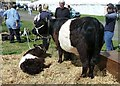 NX4254 : Belted Galloways by Andy Farrington