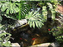 SJ9222 : Goldfish pool in the tropical house, Victoria Park  by Robin Stott