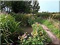 SU4792 : Himalayan Balsam beside the Ginge Brook by Des Blenkinsopp