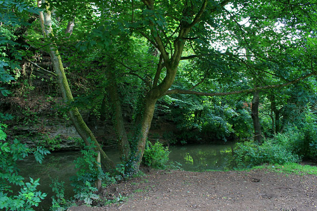 Multi-boled sycamore beside the River Frome