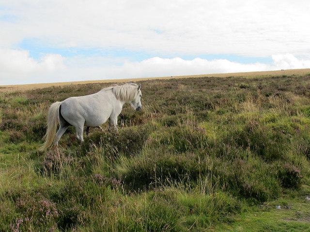 Dartmoor pony near Hookney Tor