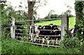 J1749 : Cattle near Dromore by Albert Bridge