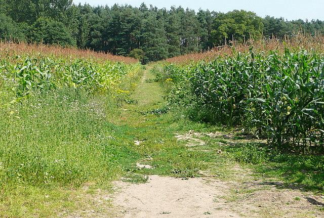 Maize at Hogmoor Lane