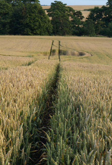 Wheat above the Nidd