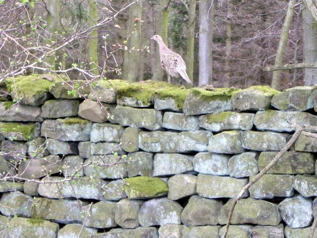 Hen pheasant, Warrener Wood