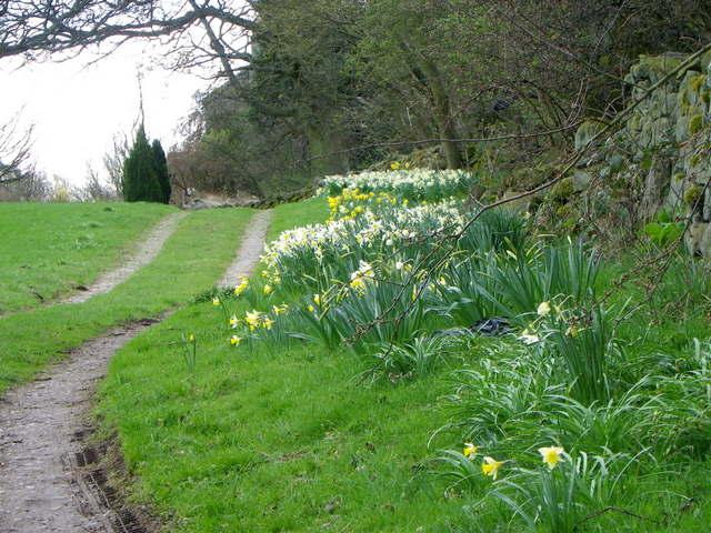 Daffodils near Ilton