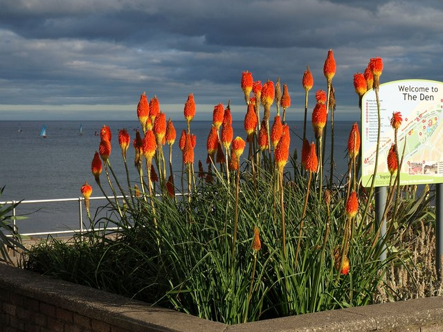 Red hot pokers, Teignmouth