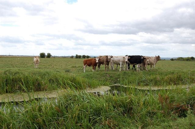 Cows near Church Farm Ditch