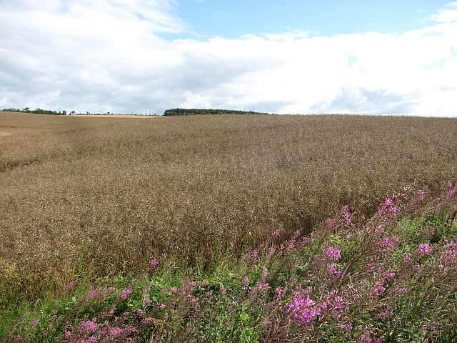 Oilseed rape near Reston