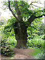 TG3613 : King Oak in Fairhaven Water Garden, South Walsham by Evelyn Simak