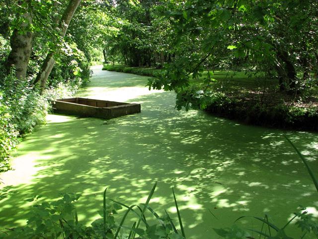 Duckweed on water channel, Fairhaven Water Garden