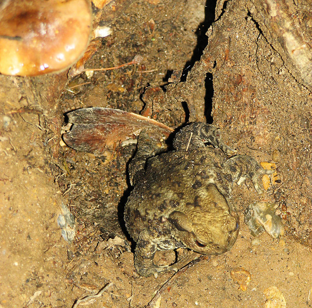 Common toad (Bufo bufo) emerging from its hole