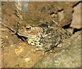TG3613 : Common toad (Bufo bufo) by Evelyn Simak