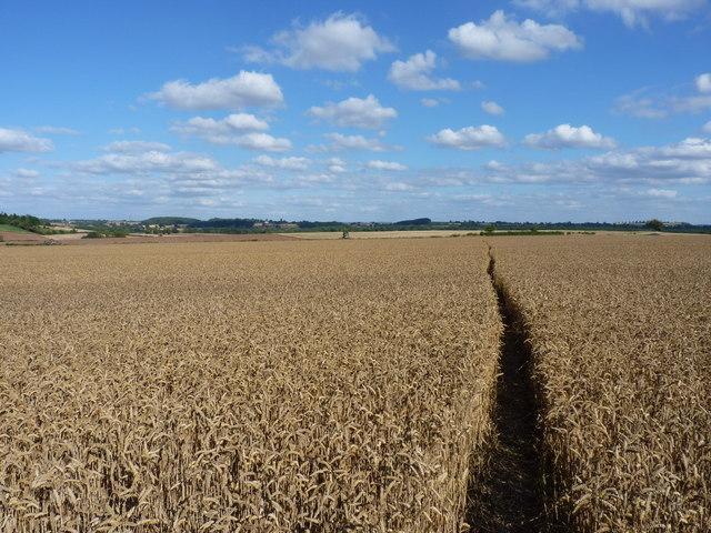 A footpath through ripe wheat, near Ackleton