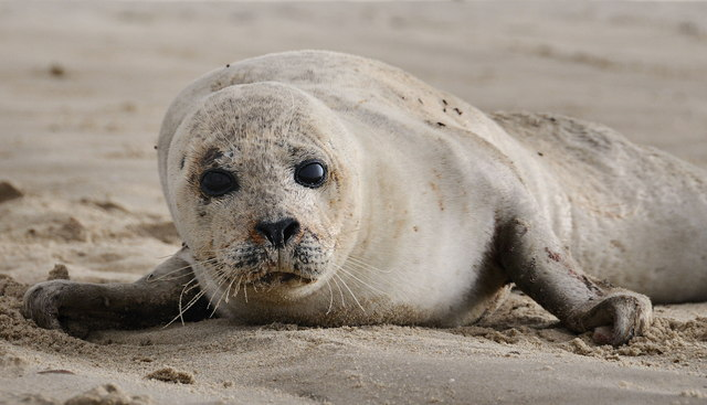 Grey seal, between High Sand and Cabbage Creek