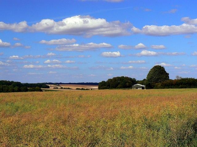 Oilseed rape near Wickfield Farm, Shefford Woodlands