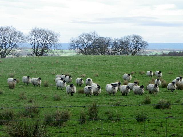 Sheep near Ilton