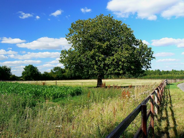 Maize, horse chestnut, fence and byway, Shefford Woodlands