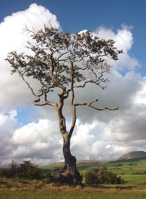 A tree and Ingleborough
