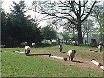SO5888 : Sheep on the lower slopes of the Brown Clee by Richard Webb
