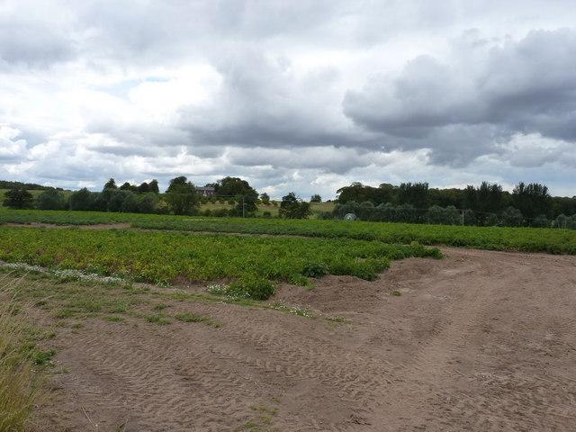 Potato crop in a field near Burcot