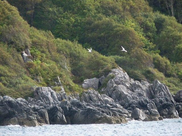 Terns fishing off Rubha Ban