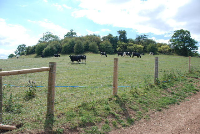 Cattle on the side of Ash Hill