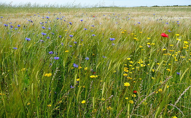 Wild flowers at Trevilley