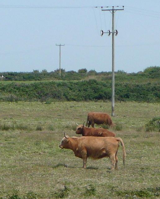 Cattle on Treve Common