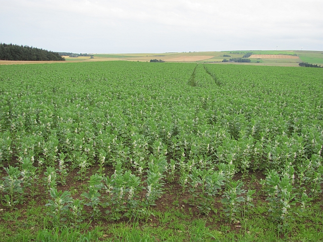 Bean field near Pittarrow