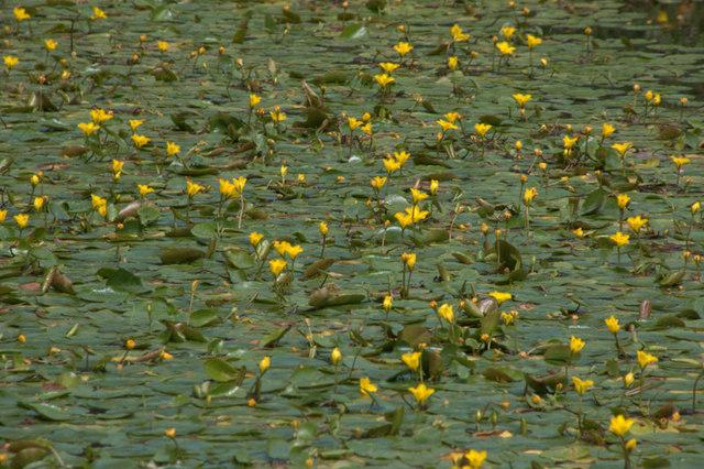 Yellow water-lily (Nuphar lutea), Royal Botanic Gardens Edinburgh