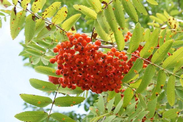 Rowan (Sorbus aucuparia), Royal Botanic Gardens Edinburgh