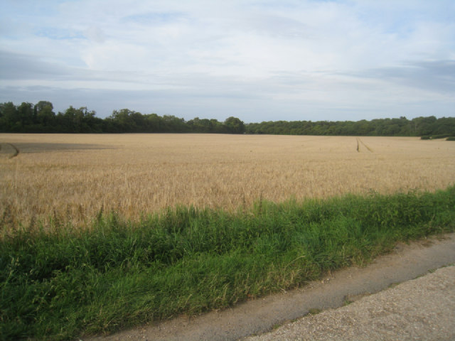 Wheat field - Breach Farm