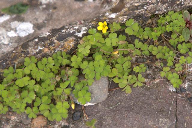 Upright Yellow-oxalis (Oxalis stricta), Melrose