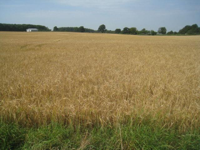 Wheat field near Oakley