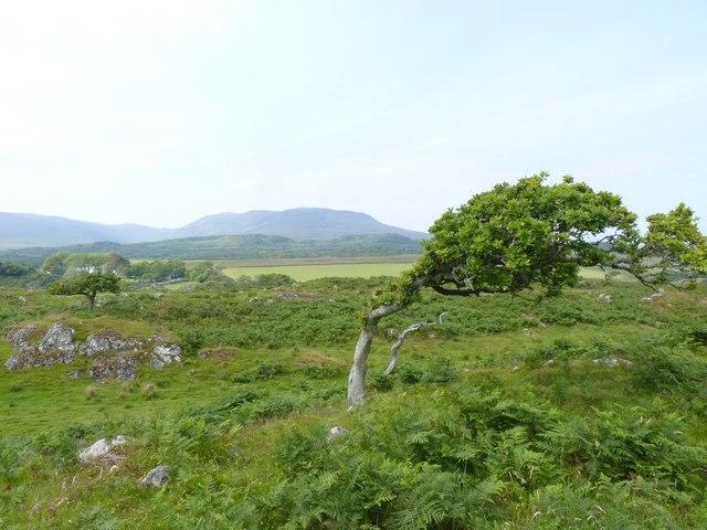 Oak Tree at Ardmore, Islay