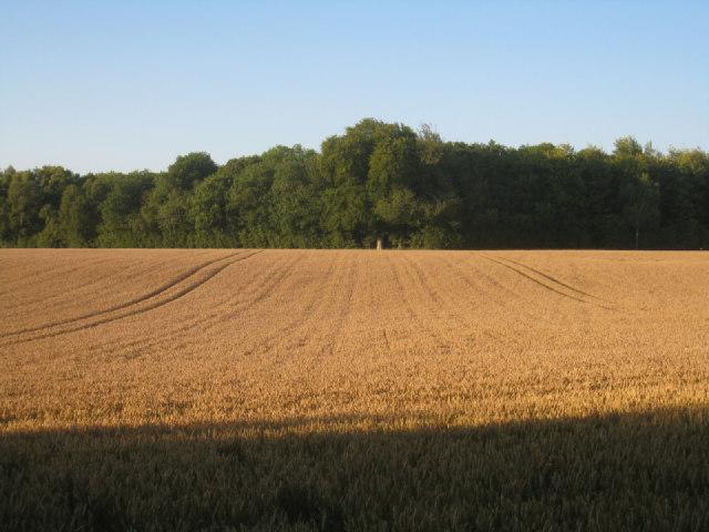 Wheat & Pardown Copse