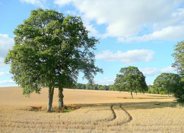 Oak trees in summer