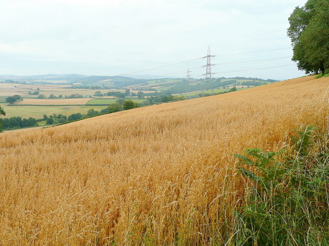 Oat crop on Crews Hill
