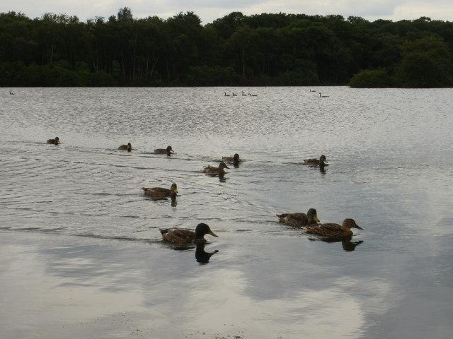 Ducks aplenty on the upper of the two Pen Ponds