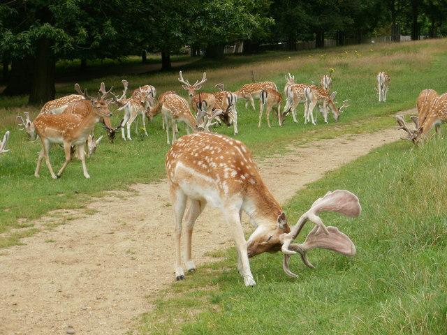 Deer in Richmond Park (2)