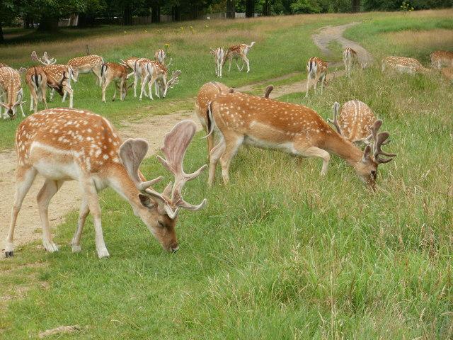 Deer in Richmond Park (3)