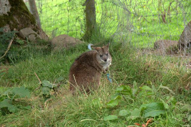 Wallaby at Auchingarrich Wildlife Centre