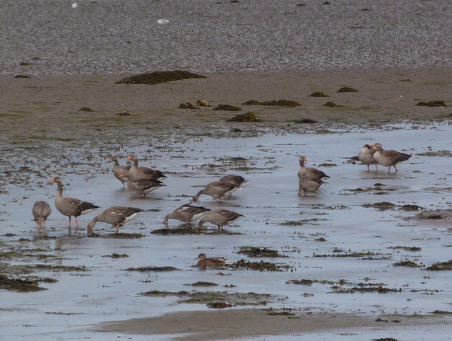 Greylag geese at Loch Fleet