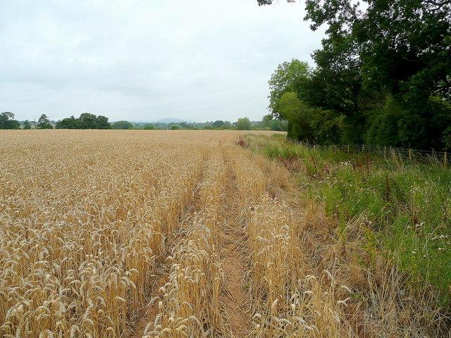Wheat field in the Vale of Leadon