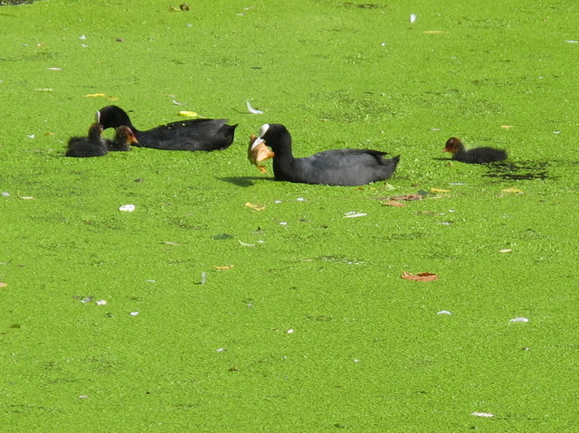 Coots in the duckweed, Grand Union canal