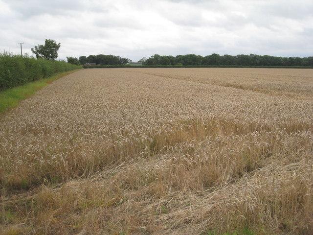 Wheatfield near Red House Farm