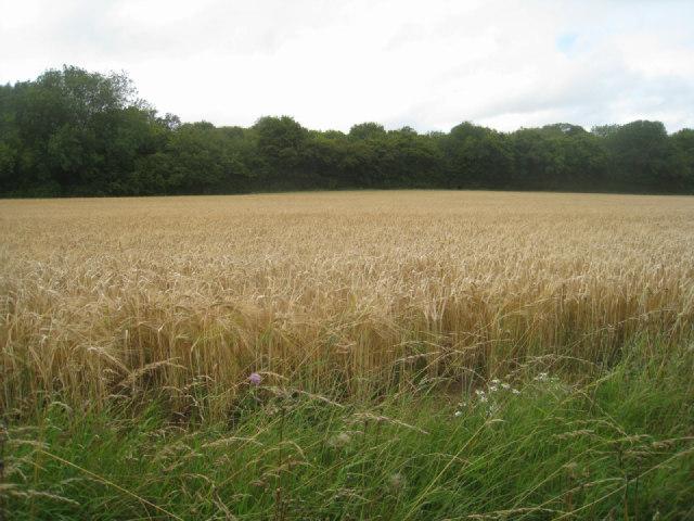 Jeffery's Copse & wheat
