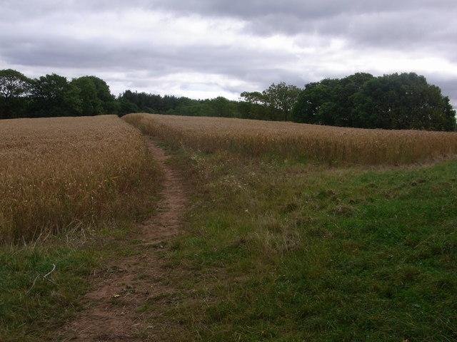 Bridleway crosses field of wheat