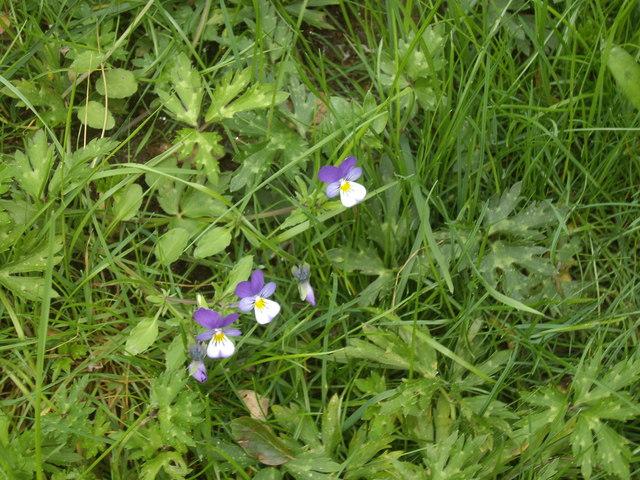 Heartsease (Viola tricolor), Bridge of Potarch